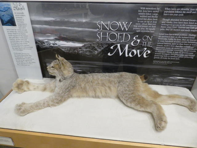 Lynx- Look at the size of its paws!