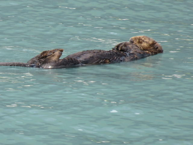 Our 1st glimpse of sea life: A sea otter entertaining us.