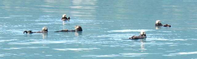A 'Raft' of sea otters floating together