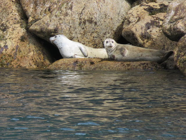 Here is a better look at hte Harbour Seals