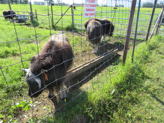 Female Musk Ox at the farm