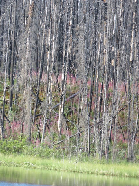 Fireweed: regenerating this devastated forest