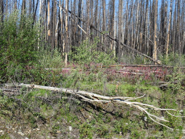 Miles of dead forests with fireweed springing up