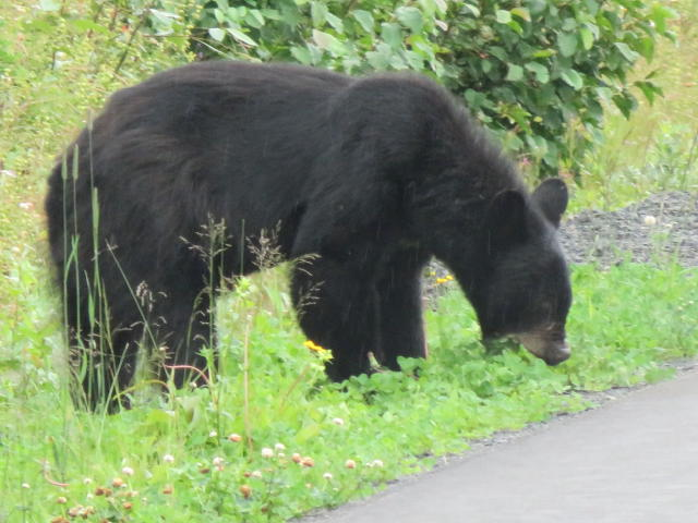 A Black bear enjoying food along the highway