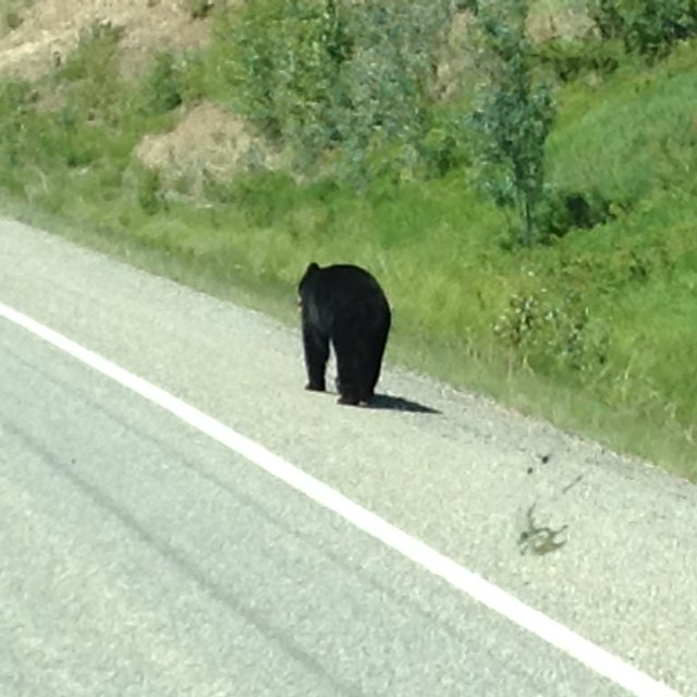 A Black Bear out for a stroll