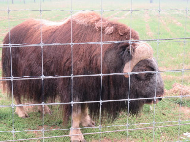 Musk Ox are Big!